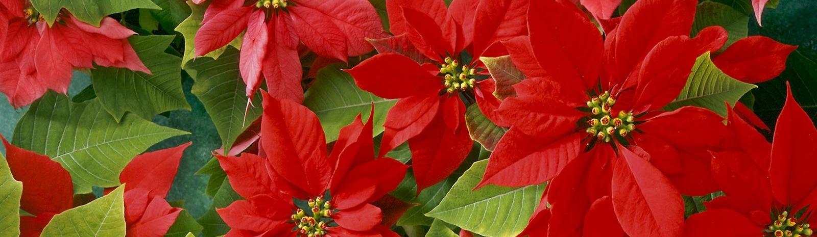 flores-de-pascua-decoracion-navidad-zaragoza
