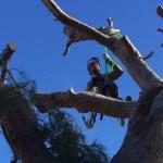 Limpieza de pinos en Zaragoza