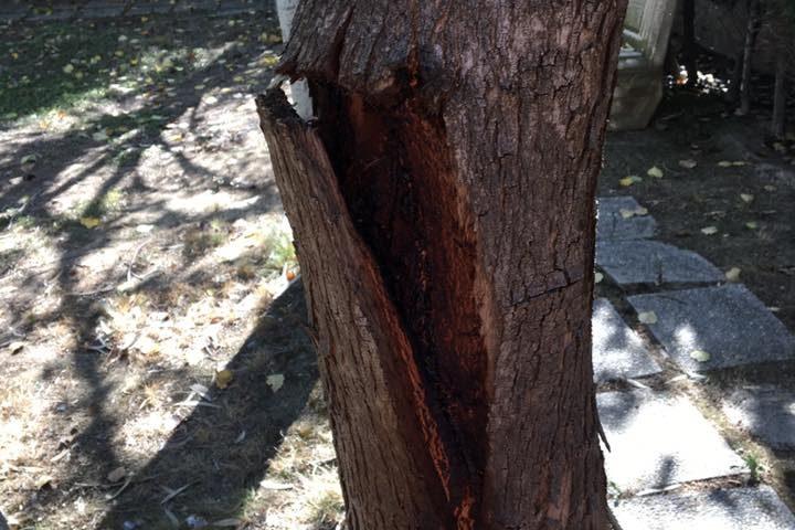 Tala de varios árboles de porte pequeño con problemas diferentes.